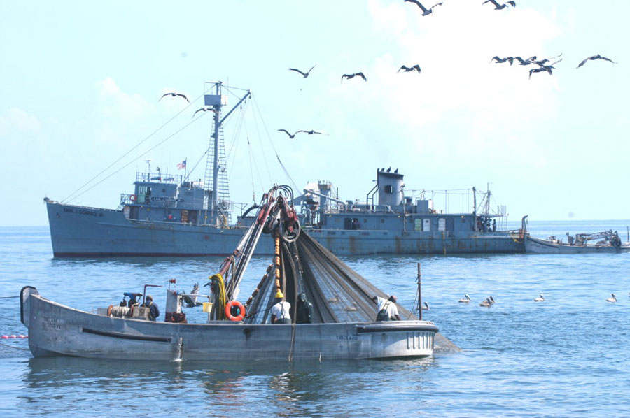 Vacuuming Menhaden